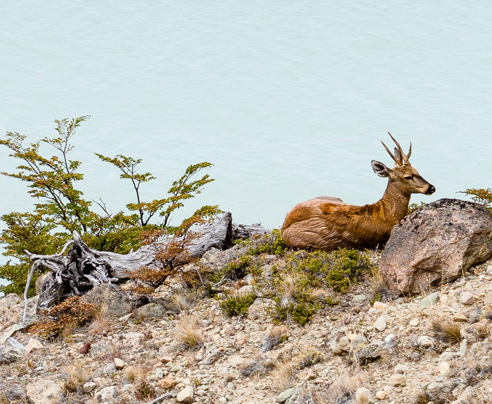 Huemul - Southern Andean Deer Endangered